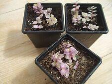 Callisia Repens (Pink Panther) RARE Tradescantia Miniature-Semi Succulent
