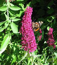 Sommerflieder Buddleja davidii Royal Red 40-60cm InsektennährpflanzeSommerblüher