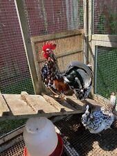 New listing 10 Pure Olandsk Dwarf Bantam Hatching Eggs �Very Rare�