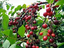 SWEET CHERRY SEEDS * 5 SEEDS  *  PROLIFIC YIELDING * SWEETEST FLAVOR *