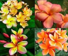 5pcs Orange Real Fresh Plumeria Rubra seeds Frangipani Lilavadee Flower #P03