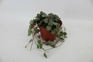 1  Ceropegia Woodii  Chain of Hearts Trailing House Plant in 8cm Pot