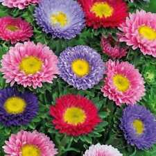 Flower Aster Baronesse Mix Appx 250 seeds Calistephus chinensis