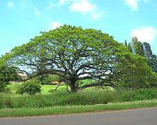 15 Seeds - Rare Rain Tree - SAMANEA SAMAN - Garden Bonsai - Monkey pod