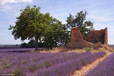 Echter Lavendel * Lavandula angustifolia Lavendelsamen 100 Samen 001414