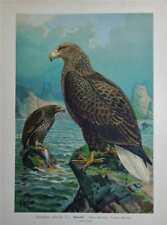 Antique Naumann Birds of Prey Print 1896 - WHITE-TAILED SEA EAGLE - SEEADLER