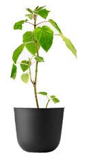Blauglockenbaum Pflanze Paulownia fortunei Kiribaum schnellwachsend bis 20m