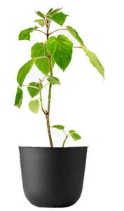 Blauglockenbaum Pflanze Paulownia Shan Tong Kiribaum schnellwachsend bis 20m