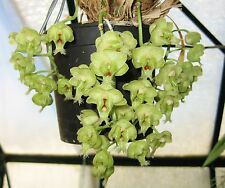 Clowesia warscewiczii very rare and impressive species flask great parentage!!!