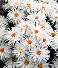 Chrysanthemum Crazy Daisy Leucanthemum x Superbum - 100 seeds - Perennial