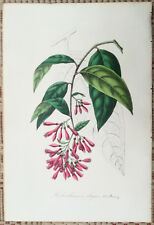 van Houtte: Garden Flowers Solanum Habrothamnus elegans - 1854 (NS)