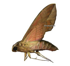 Unmounted Butterfly/Sphingidae - Eumorpha anchemolus, FEMALE, Bolivia, A-