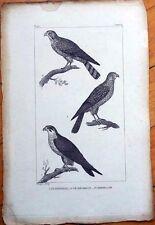 Le Hobereau, Le Crecerelle, L'Emerillon - 1830s French Bird Print