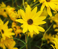 MAXIMILLIAN SUNFLOWER Helianthus Maximiliani - 500 Bulk Seeds
