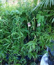 Plants Bamboo  Gracilis Slender Weaver 200mm pots 1.2-1.5m hgt 10 for $420-