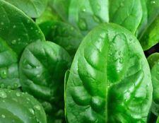 Seeds Spinach Matador Giant Water Vegetable Organic Heirloom Russian Ukraine