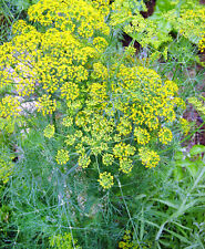 200+ Kitchen Herb Dill Seeds Organically Grown NON-GMO Fragrant Easy to Grow