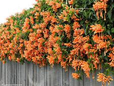 10PCs Seeds Rare Chinese Orange Pyrostegia Venusta Perennial Climbing Plant Home