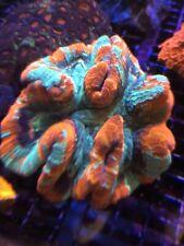 New listing Rainbow Wellso- Wysiwyg Live Coral Frag - Pop Corals Candy Shop