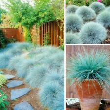 Festuca glauca Blue Fescue 250 seeds