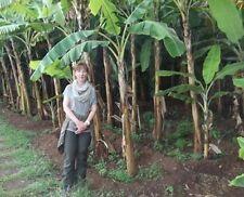 1 Banane Musa basjoo für den Balkon Garten winterhart schnellwüchsig essbar Deko