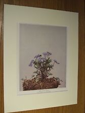 Vintage 1921 Botanical Wildflower Matted Art Print - Bird's-Foot Violet