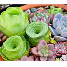100PCS Mixed Succulents Seeds Rare Succulent Potted Plant Seed Home Garden Decor