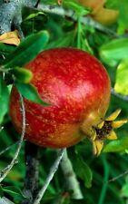 Pomegranate Trees for sale | eBay Persian Pomegranate Trees For Sale