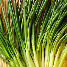 2000 Survival Heirloom Vegetable Shallot Seeds garden NON GMO Organic Plant Hot