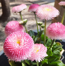 Strawberry Ice Cream Little Daisy Seeds Bonsai Plants Seeds Plant Flower Seeds