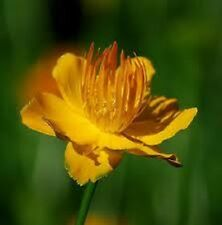 40+ TROLLIUS GOLDEN QUEEN  GLOBE FLOWER PERENNIAL FLOWER SEEDS / GREAT GIFT