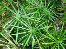 "Dwarf Umbrella Palm - 1 Feet Tall - 3 Plants in One 3"" Pot"
