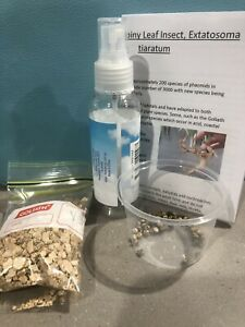 Hatching Kit and 50 Spiny Leaf Insect Eggs