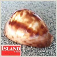 Zoila Cypraea Venusta Roseopunctata #2 58.4mm, CHOICE RARE AUSTRALIAN BEAUTY