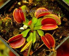 10 SEEDS - VENUS FLYTRAP - Carnivorous plant seeds - Dionaea muscipula