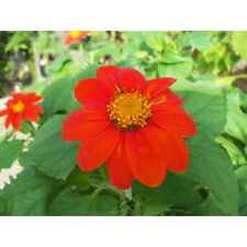 50 Mexican Sunflower