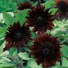 10pcs BLACK MAGIC RARE FLOWER SEEDS -- UK SELLER