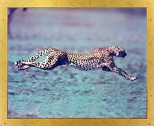 "Running Cheetah ""Spotted Wind"" Wildlife Animal Wall Decor Golden Framed Picture"