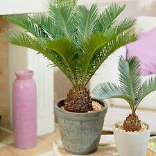Cycas Revoluta   Indoor 30-40cm Potted Sago Palm   Houseplants for Sale