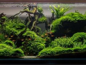 ( Taxiphyllum barieri ) Java Moss - Quality - Loos Portion- Live Aquarium Plants
