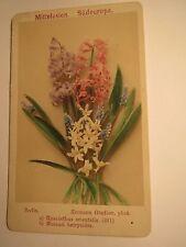 Hyacinthus orientalis-jardín-a los jacintos/Muscari botryoides-planta/CDV