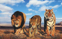 Framed Print - Lion Leopard Tiger (Picture Poster African Ferocious Big Cats)