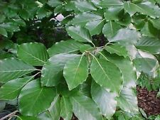 Fagus sylvatica EUROPEAN BEECH TREE Seeds!