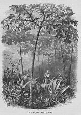 The Gowinia Gigas Tree - Antique Print 1870