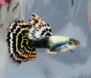 QUALITY GUPPY FISH TIGER HALFMOON 1 PAIR (1MALE+1FEMALE)