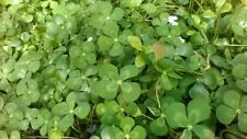 Variegated Water Clover,Pond Plant,Biofilters,100% Organic,Licensed Pa Grower