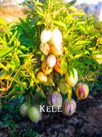 Melon Tree Bonsai Pepino Garden Plants Organic Fruit 100 PCS Seeds Free Shipping
