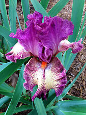 Tall Bearded Iris Lovely Dawn Pink Rose Fragrant rhizome perennial Plant