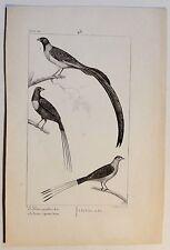 Le Veuve au collier d´or / Vögel - antik Steindruck - um 1800 - Buffon