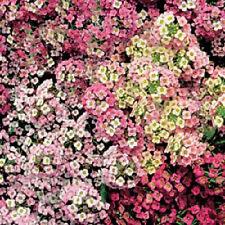 500 Sweet Alyssum Pastel Carpet Mix Lobularia Maritima Flower Seeds *Comb S/H